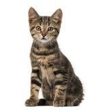 Seduta europea del gatto, isolata Fotografia Stock