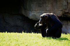 Seduta femminile dello scimpanzè su un fondo della roccia fotografia stock