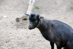 Seduta femminile di Aegagrus Hircus della capra della piccola capra nera del cucciolo immagine stock libera da diritti