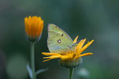 Seduta gialla appannata pallida del hyale di Colias della farfalla sul fiore arancio Fondo verde macro vista, fuoco molle shallow Immagini Stock Libere da Diritti