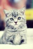 Seduta grigia del gattino Fotografia Stock Libera da Diritti