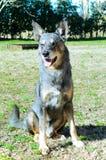 Seduta ibrida del cane Fotografia Stock