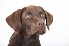 Seduta marrone dolce del cane di labrador Fotografie Stock Libere da Diritti