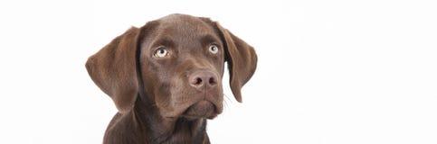Seduta marrone dolce del cane di labrador Fotografia Stock Libera da Diritti