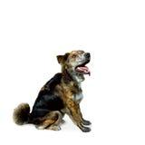 Seduta Mixed del cane della razza Fotografia Stock Libera da Diritti