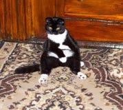 Seduta nera del gatto del popolare dello Scottish Fotografie Stock