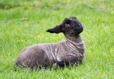 Seduta nera dell'agnello Fotografie Stock