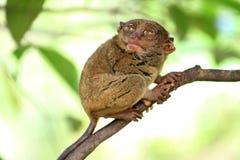 Seduta più tarsier adorabile su un albero Immagine Stock Libera da Diritti