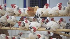Seduta praticamente immobile dei polli sui pali nella sala sull'azienda avicola stock footage
