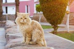 Seduta rossa del gatto egiziano Fotografie Stock