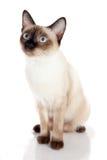 Seduta siamese del gattino Fotografie Stock Libere da Diritti
