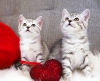 Seduta sveglia dei gattini Due gattini di bianco grigio barrati scozzese Immagine Stock Libera da Diritti