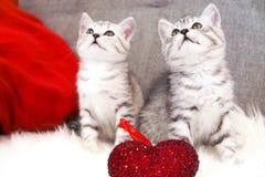 Seduta sveglia dei gattini Due gattini di bianco grigio barrati scozzese Fotografia Stock