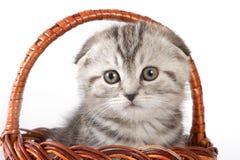 Seduta sveglia del gatto del popolare dello Scottish del gattino Immagini Stock Libere da Diritti