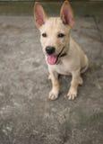 Seduta tailandese del cane Fotografia Stock Libera da Diritti