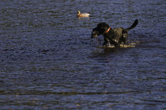 See another duck?. A black Labrador retriever pauses as he returns a duck to a hunter Stock Image