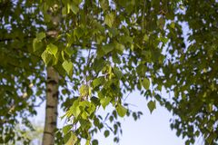 See Baikal auf Hintergrund Catkins auf Birkenbaum im Fr?hjahr Garten Park quadrat Fr?hling stockbilder