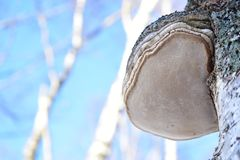 See birch polypore fruit body means. It cold kill the fruit body. The spore powder penetrates into the tree cultures through the bark or its broken parts royalty free stock images