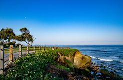 Shapely Olive Tree by the Shore. This olive tree is in the park at La Jolla Cove near San Diego stock photos