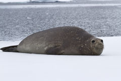 See-Elefant, der auf dem Eis stillsteht Lizenzfreies Stockfoto