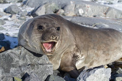 See-Elefant, der auf den Felsen ist Lizenzfreies Stockbild