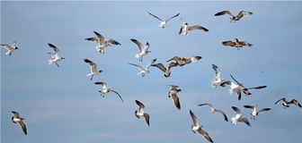 See gulls. In the sky fighting for food Royalty Free Stock Photos