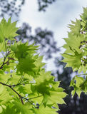See through Japanese maple leaves Royalty Free Stock Photos