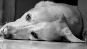 The see of labrador dog stock photography