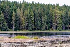 See mit lilly füllt nahe hohem Kiefernwald auf lizenzfreie stockfotografie
