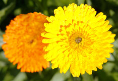Marigold (Calendula officinalis) Royalty Free Stock Photography