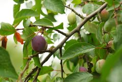 Plums on a tree in summer royalty free stock image