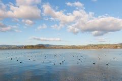 See Rotorua mit Menge von stillstehenden waterbirds stockfotos
