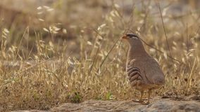See-see Partridge On Rock Royalty Free Stock Image