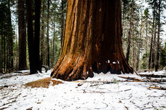 We see the Sequoia`s gigantic base clearly with its red bark as sun shines brightly revealing its color and texture. We see the Sequoia tree`s gigantic base Stock Photo