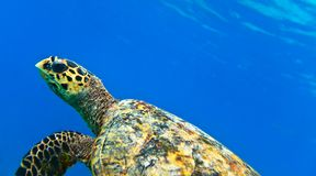 See turtle. Tropical seascape on an ocean island, Maldives, The Indian Ocean Royalty Free Stock Images