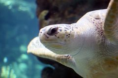 See Turtle. Ocean water diving mammale animal beauty royalty free stock image