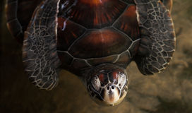 See turtle Royalty Free Stock Photos