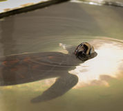 See turtle Royalty Free Stock Photography