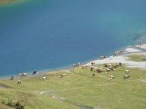 See und Kühe in der Schweiz Lizenzfreies Stockfoto