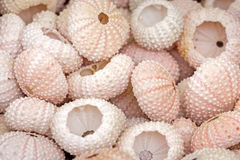 See urchin shells Royalty Free Stock Photo