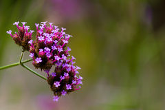 See-through Verbena Royalty Free Stock Photo