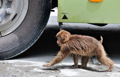 See who is faster. Little monkey walk on the road with cars. Location: China HaiLuoGou scenic area in sichuan province Royalty Free Stock Images