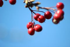 Red berries in a vivid blue sky stock images