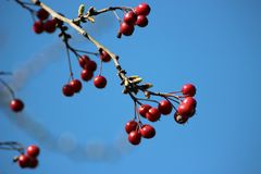 Red berries in a vivid blue sky stock photo
