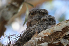 We See You. Tawny Frogmouth parents share the care of nesting duties, dad stays on the nest all day and mum takes over at night Stock Photo