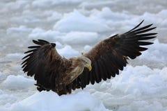 Seeadler auf Eis Lizenzfreies Stockfoto