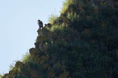 Seeadler, der auf einem Felsen im Pazifischen Ozean sitzt Lizenzfreie Stockbilder