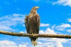 Seeadler, der auf einer hölzernen Niederlassung auf einem Hintergrund des blauen Himmels sitzt Lizenzfreie Stockfotos