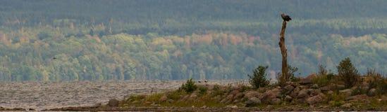 Seeadler, der in einem Baum sitzt Stockbilder