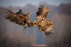 Seeadler, die über Lebensmittel kämpfen Stockfoto